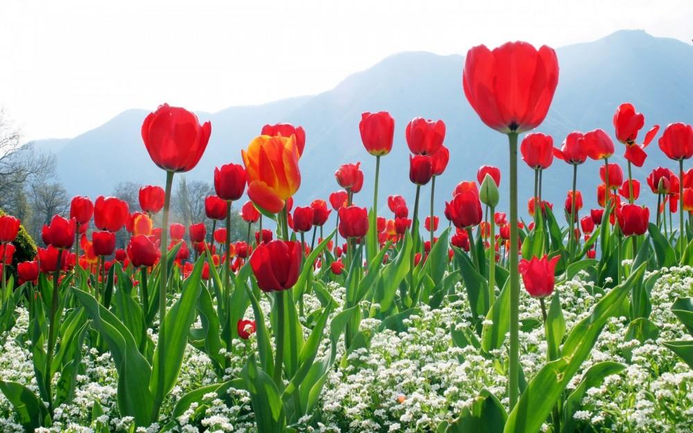 preciosos-tulipanes